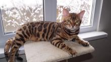 Клички для бенгальских кошек и котов