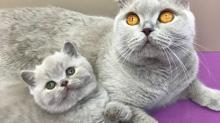 Имена для британских кошек девочек