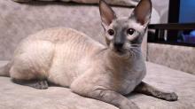 Клички для Корниш-рекс кошек и котов