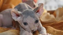 Клички для сфинксов кошек и котов