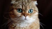 Имена для шотландских кошек девочек