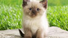 Клички для сиамских котов мальчиков