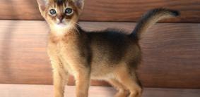 Клички для абиссинских кошек и котов