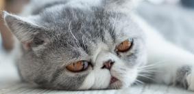 Клички для экзотических кошек и котов