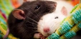 Имена для крыс мальчиков и девочек