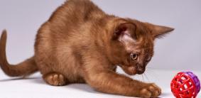 Клички для шоколадных кошек и котов
